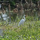 White Egrets by floridan