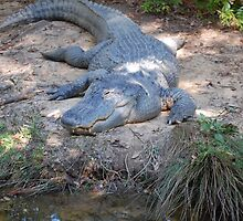 Aligator... by JackieSmith