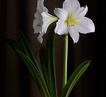 Amaryllis by BonnieJames