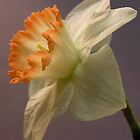 White Daffodil by BonnieJames