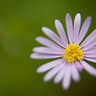 Hazy Daisy by Philip Werner