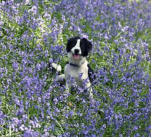 Molly the Collie in the Bluebells by John Keates