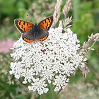 Small Copper by John Keates