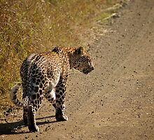 On The Prowl - Kruger National Park by Karl Lindsay