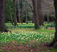 Daffodill Wood by Trevor Kersley