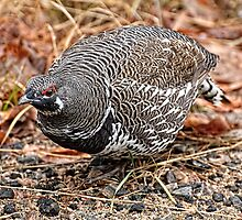 Spruce Grouse - Algonquin Park, Ontario by Tracey  Dryka