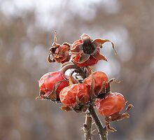 Pretty Rose Hips by MaryinMaine