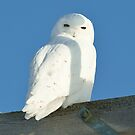 Male Snowy Owl by Gerry Danen