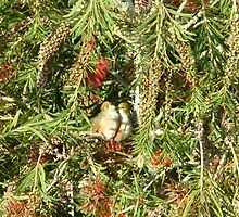 Two waxeye birds kissing in a bottle brush tree by cepnz