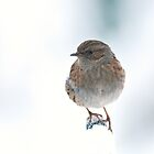 Little Dunnock by Sarah-fiona Helme