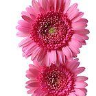 two pink gerberas by OldaSimek