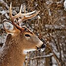 Buck Portrait - Ottawa, Ontario by Michael Cummings