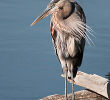 Great Blue Heron #3 by JimGuy
