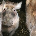 (W is for Warthog) Mum, Mum, there's a weird human pointing something at me! by ellismorleyphto