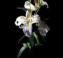 Lily by Lynne Morris