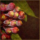 Corymbia ficifolia    Eucalyptus by Magee