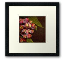 Corymbia ficifolia    Eucalyptus Framed Print