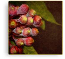 Corymbia ficifolia    Eucalyptus Canvas Print