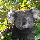 Koala on Otway (Can&#x27;t you see I am busy?) by Kayleigh Walmsley