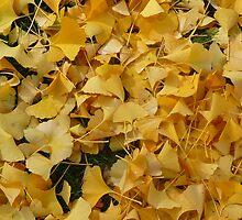 Autumn Ginkgo leaves Victoria Australia by Sevenm2