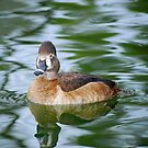Ring-necked Duck by Angela Pritchard