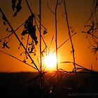 Sunset through the grass.  by Amy Bowman