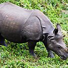 Female Rhinoceros - Rhinoceros unicornis by David Lewins LRPS