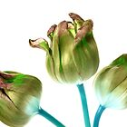 Triple Tulip by claraneva