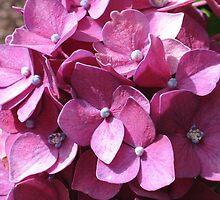Dark Pink Hydrangeas by art2plunder
