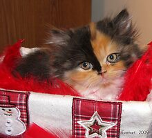 Seasons Greetings Christmas Calico Persian Kitten  by Julie Everhart