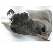 Snuggle Dogs Poster