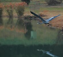 Great Blue Herron in Flight by Dennis Rubin IPA