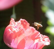 Bee-Poppy by Petehamilton