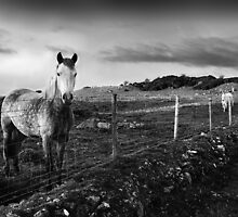 Ponies at Tamnyrankin, Northern Ireland by Andrew Gilmore