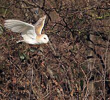 Flying Barn Owl - Wales UK by purpleharrier
