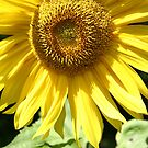 Sunflower by Christopher Clark