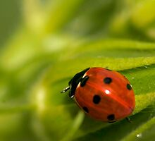 Lady Bug by snehit