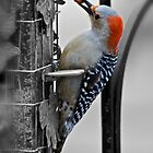 Golden-fronted Woodpecker by mrthink