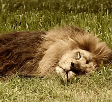 Sleeping Lion - Buenos Aires Zoo, Argentina by Kent DuFault