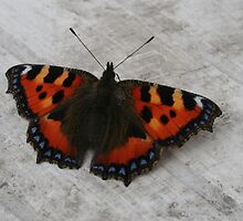 Small Tortoiseshell Butterfly by Teuchter