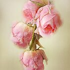 Pink Lace Roses by CarolM