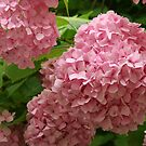 Pink Hydrangeas by Christine Wilson