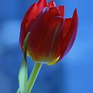 Red & Blue tulip by Lindie