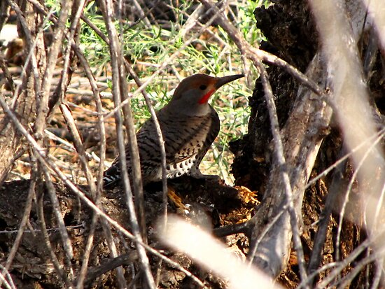 Northern Flicker (Red-shafted) ~ Male by Kimberly Chadwick