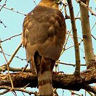 Coopers Hawk ~ Accipiter by Kimberly P-Chadwick