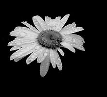 Daisy in B&W by Karen  Betts
