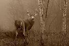 White-tailed Deer Buck Sepia by Jim Cumming