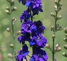 Purple Delphinium 1 by John Caddell