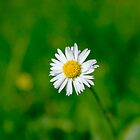 The Daisy on the Green by Hoodle-Hoo