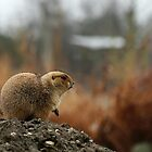 Black-tailed Prairie Dog by Terry Seidler